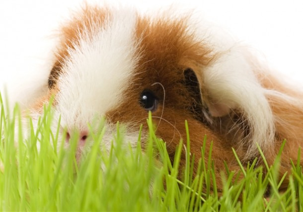 owning a guinea pig as a pet Virtual pet guinea pig remix remixed by kbrogan scripts  ♡ click on each category to explore deeper into the wonderful world of owning guinea pigs.
