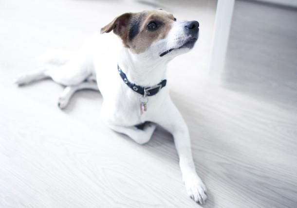 How Hemangiosarcoma Impacts Dogs Health Texvetpets