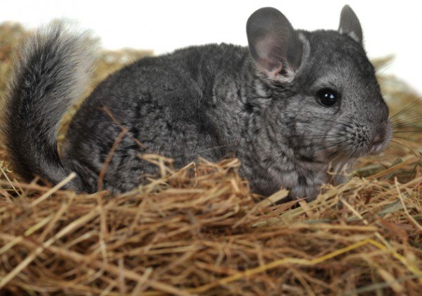 pet health wellness chinchillas texvetpets
