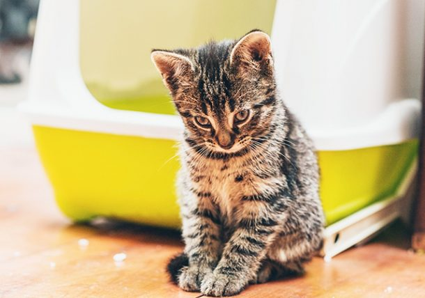 litter box training a kitten is far simpler than potty training a child or a puppy all you need is a kitten some litter and a box