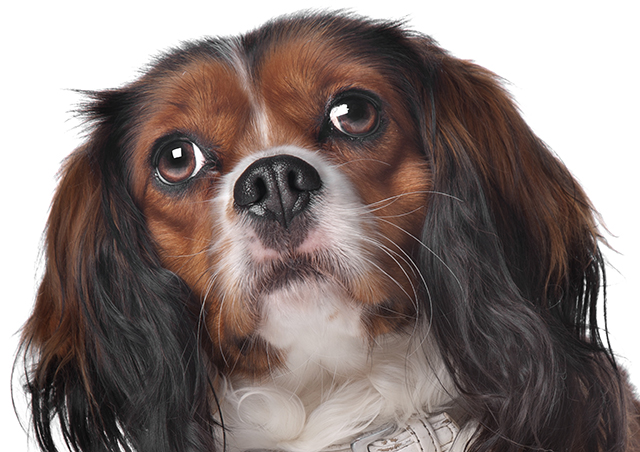 Stomatitis In Dogs And Cats Canine And Feline Oral
